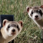 on being ten ferrets