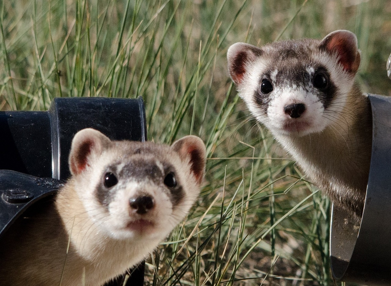 Ferrets (wait for it... all will become clear.)