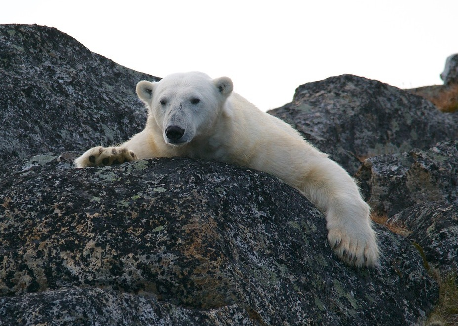 Visual argument essay polar bear